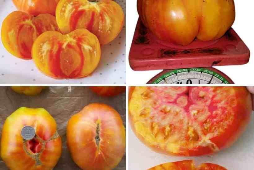 pineapple tomato feature