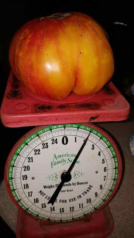 pineapple tomato on a scale