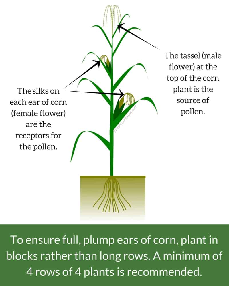 Anatomy of a corn plant