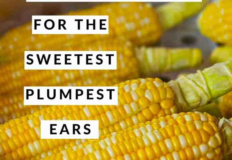 Growing corn for the sweetest, plumpest ears
