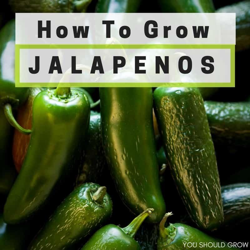 how to grow jalapenos in a pot
