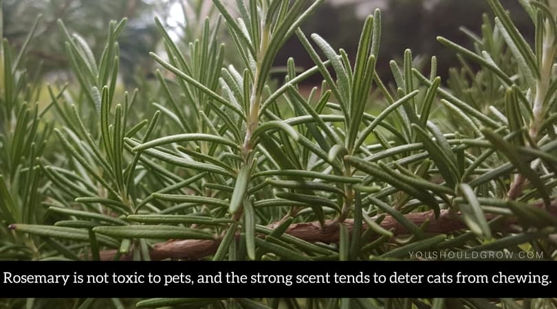 Rosemary is not toxic to pets, and the strong scent tends to deter cats from chewing.