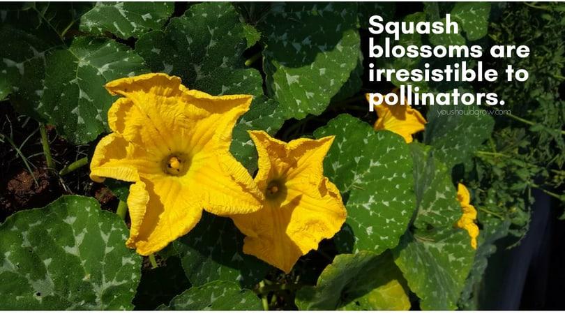 big yellow squash blooms
