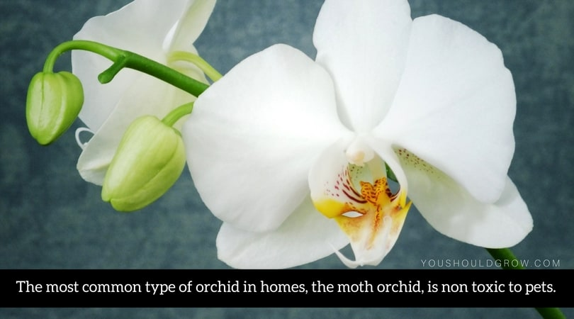 The most common type of orchid in homes, the moth orchid, is non toxic to pets.