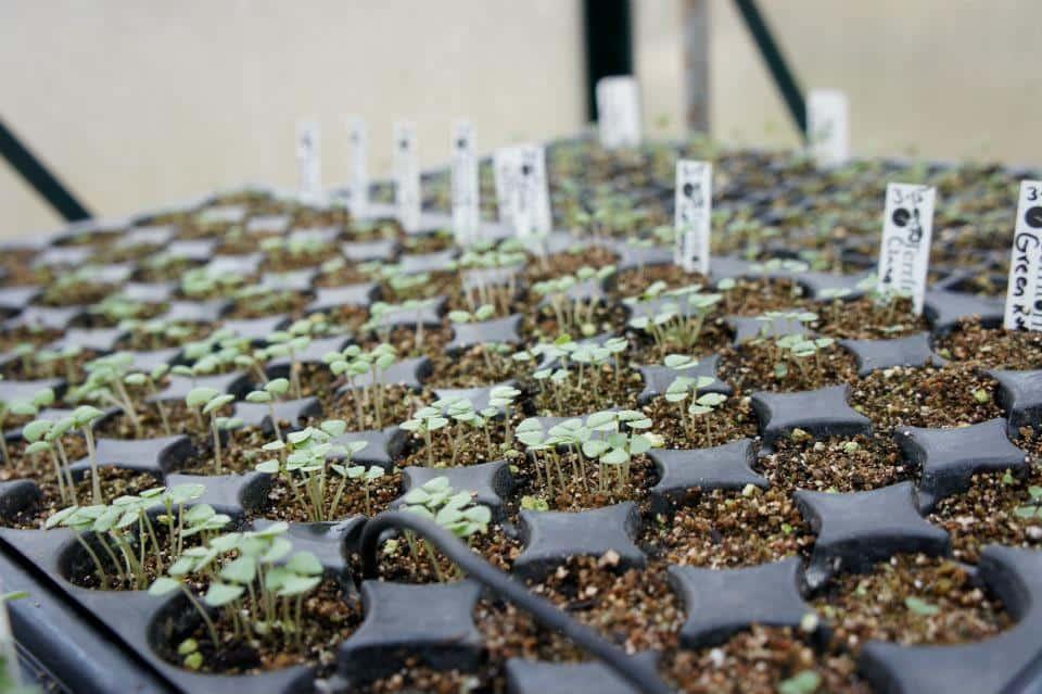 Seed starting: tray of basil seedlings.
