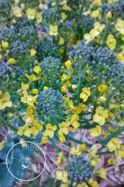 Grow your own delicious broccoli with these three tips. Image: The delicate yellow flowers on broccolini. Youshouldgrow.com