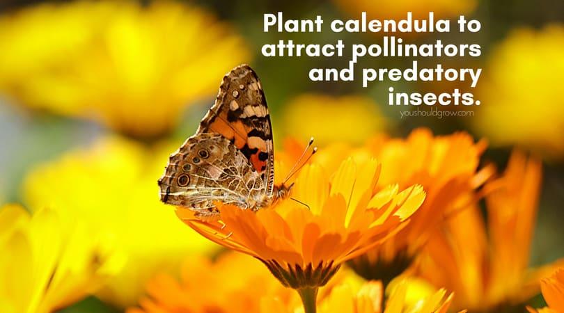 butterfly on calendula flowers