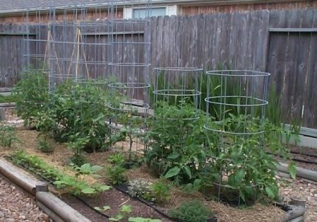 Tomato cages made from cattle panels.
