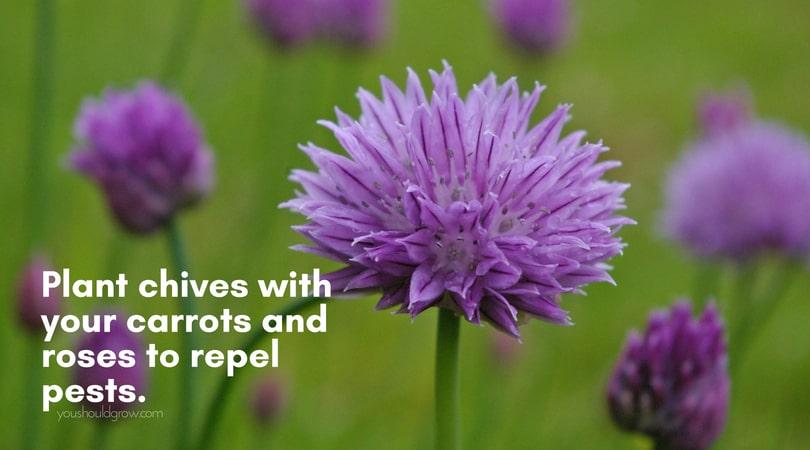 purple chive flowers