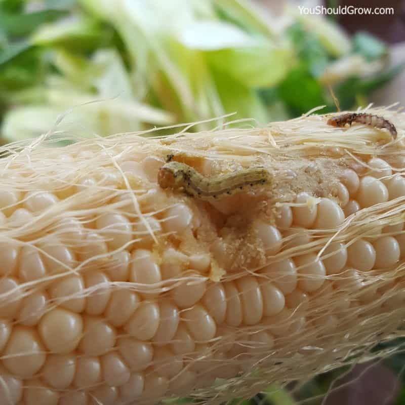 Worms eating kernels of corn