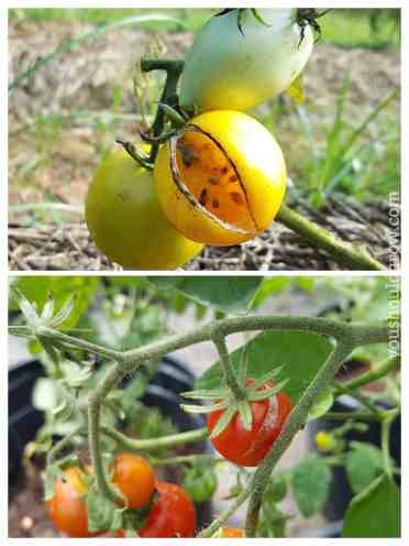 Cracked tomatoes are a common tomato problem.