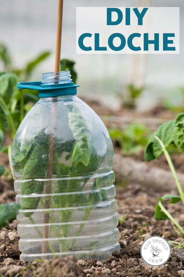DIY cloche made from plastic bottle for protecting plants from frost.