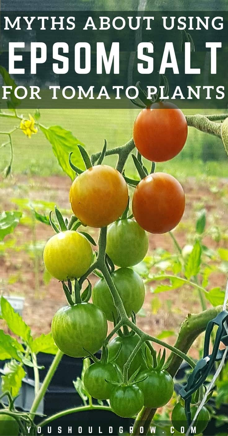 There are several 5 common gardening myths about using Epsom salt for tomato plants. Let's sort out fact from fiction. Find out how using Epsom salt might actually be hindering your garden results. #gardening #tomatoes #organicgardening #gardenhacks
