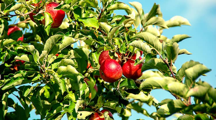 forage for apples