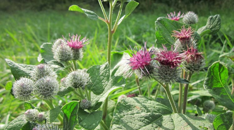 forage for burdock root