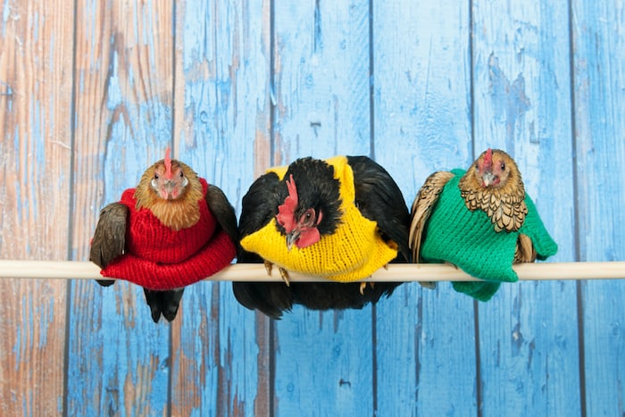 Row chickens with colorful sweaters in blue henhouse on stick
