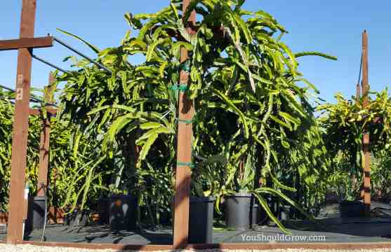 We recommend you grow dragon fruit in containers.