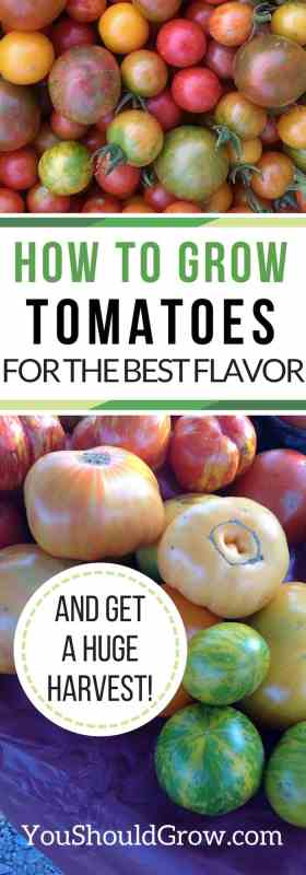 How to grow tomatoes for the best flavor and a huge harvest.