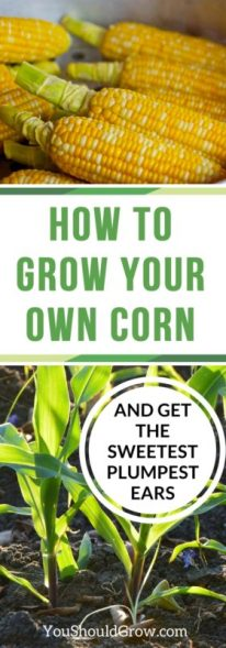 Learn everything you need to know about growing corn.