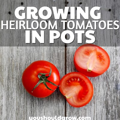 Growing heirloom tomatoes in pots. white text overlay on image of tomatoes on a wood table