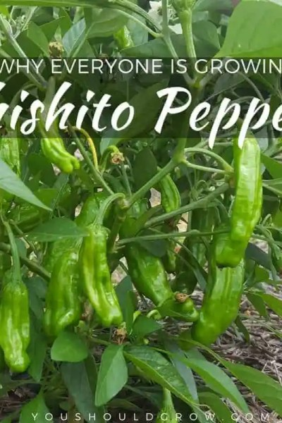 Everyone is growing shishito peppers. Find out why you should be too!