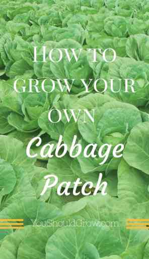 Cabbage is the unsung superfood! With all the benefits of kale, but a milder, sweeter taste, you'll love growing your own cabbage in the fall and spring gardens.