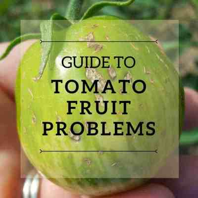 Tomato Problems: What's Wrong With My Tomato?