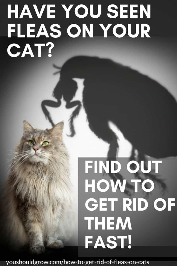 Have you seen fleas on your cat? Find out how to get rid of them fast! Text overlaying image of grey long-haired cat with a large shadow of a flea looming over it.