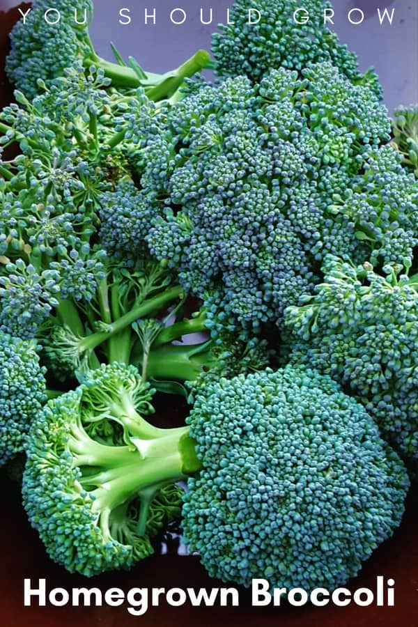 Homegrown broccoli organic vegetable gardening tips.