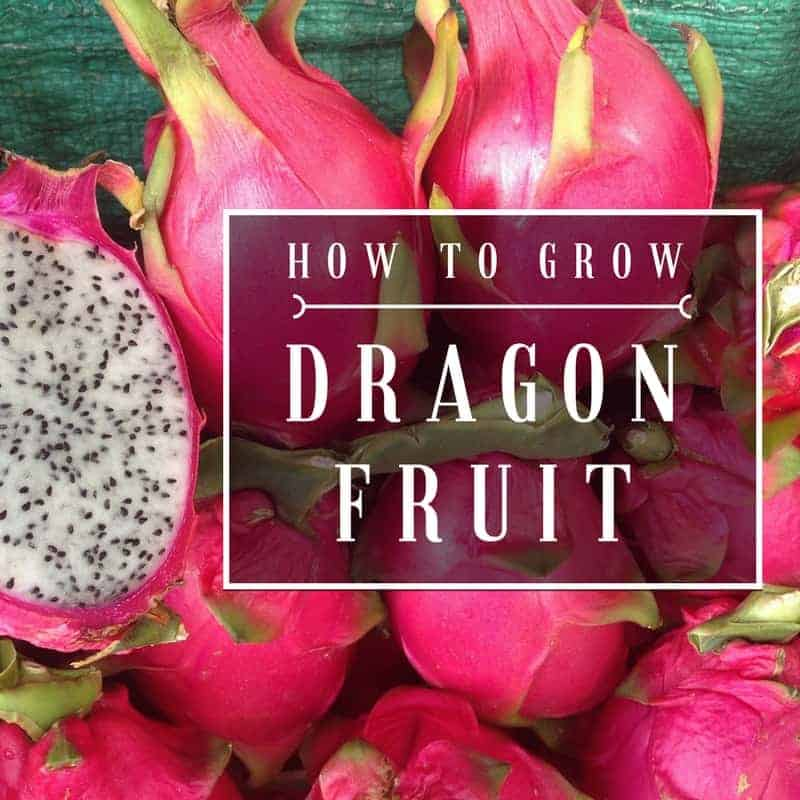 how to grow dragon plant