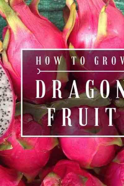 How to grow dragon fruit