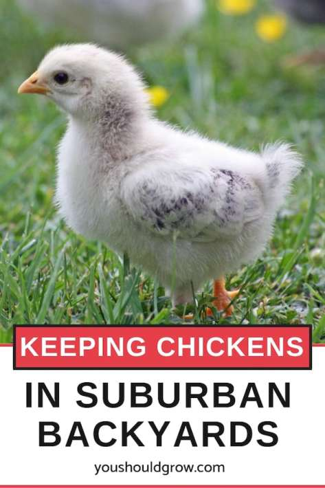keeping chickens in suburban backyards
