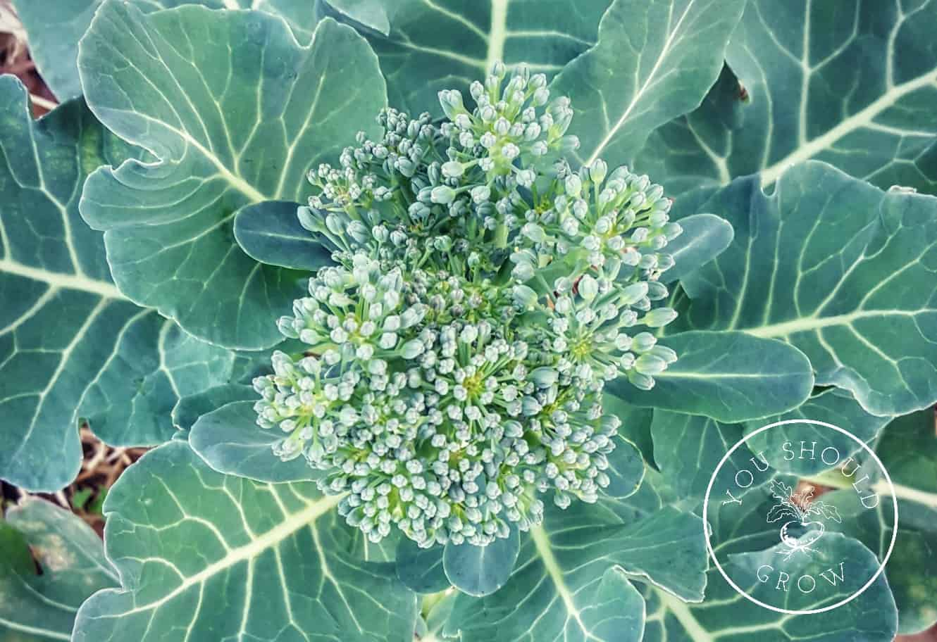 Growing broccoli tricks to grow big broccoli heads you should grow three tricks to growing broccoli at youshouldgrow your source of encouragement and advice mightylinksfo