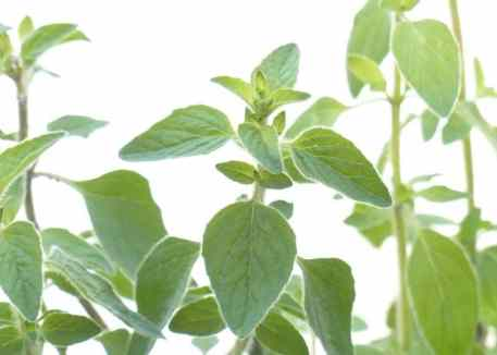 oregano - a hardy, easy to grow cooking herb