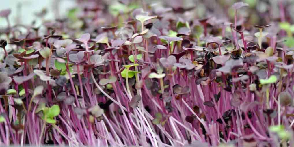 purple microgreens growing indoors