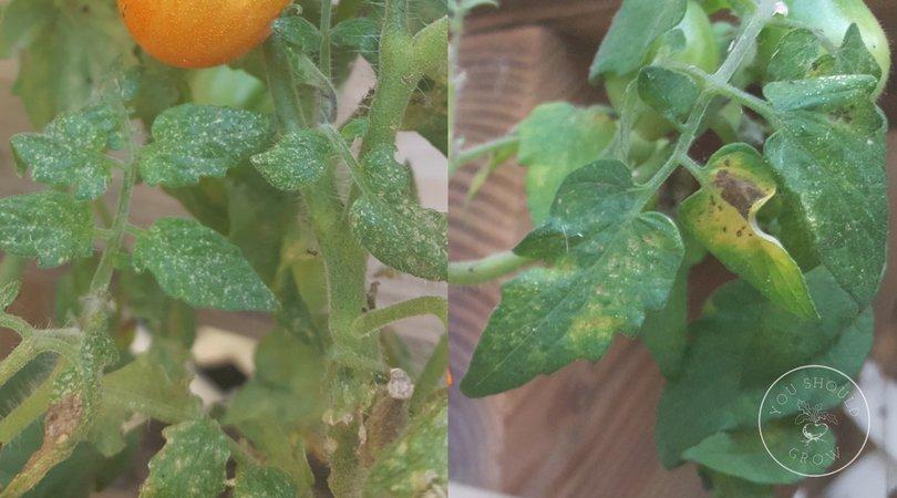 Spider mite damage to tomato leaves