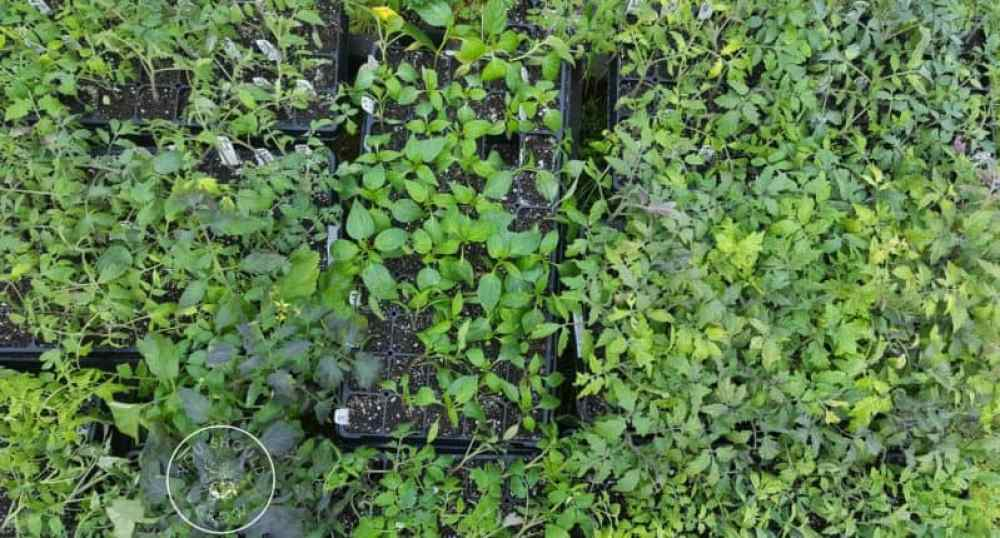 Trays of tomato seedlings. Some healthy leaves and some yellow leaves