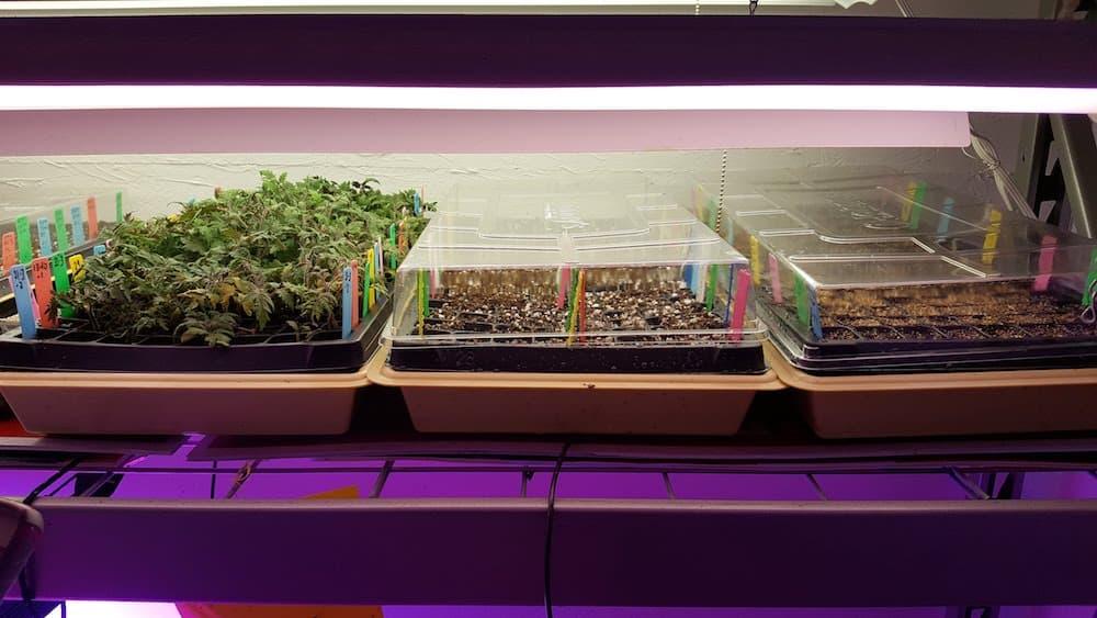 Trays of tomato seedlings under lights.