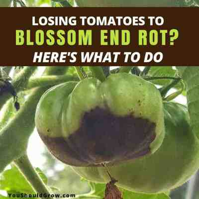 Losing Produce To Blossom End Rot? Here's What To Do!
