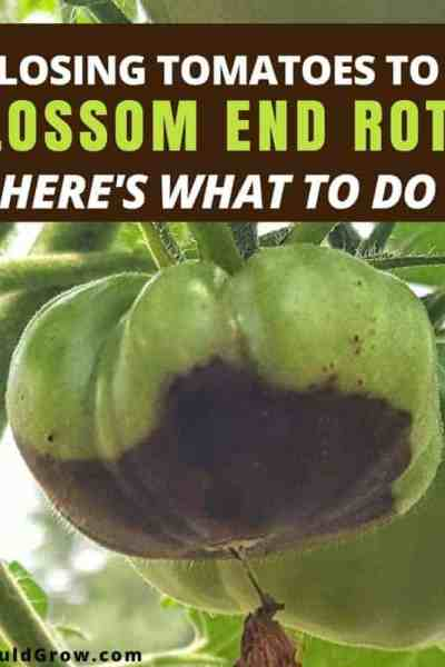 How To Fix & Prevent Blossom End Rot On Tomatoes