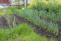 Collard green blooms