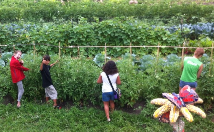 Tying up our Brandywine and Rose tomatoes