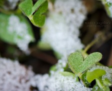 Clover covered in snow. I call it my lucky heart clover.