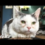 Cat with Short Legs Looks Like a Tiny Potato – GISELLE | The Dodo Little But Fierce