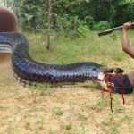 Primitive Technology: Traditional Biggest Python Trap Using Deep Hole Branches That Work 100%