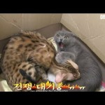 Why is the Savannah cat pissed?