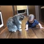 赤ちゃんと良い距離感を保つ猫 ノルウェージャンフォレストキャット Good sense of distance.Norwegian Forest Cat.