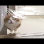 (ENG) 투명벽을 마주한 고양이들의 반응은?ㅋㅋㅋ (Invisible Wall Challenge)