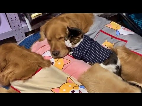 Cat Love Snuggling Up With Gentle Golden Dogs