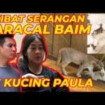 AKIBAT S3RANGAN CARACAL BAIM NY3RANG KUCING PAULA..!!